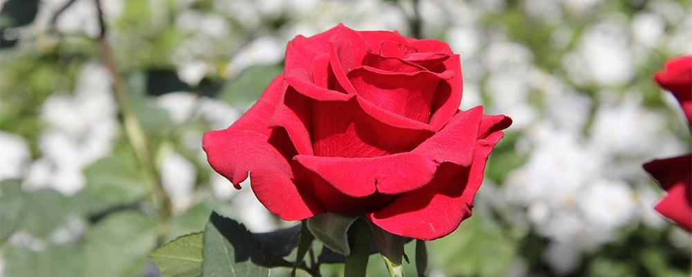 Fiori Che Assomigliano Alle Rose.La Rosa Giardineria